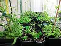 Several potted plants of Arabidopsis thaliana